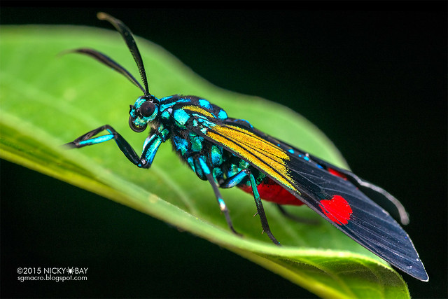 Moth (Belemnia inaurata) - DSC_8463