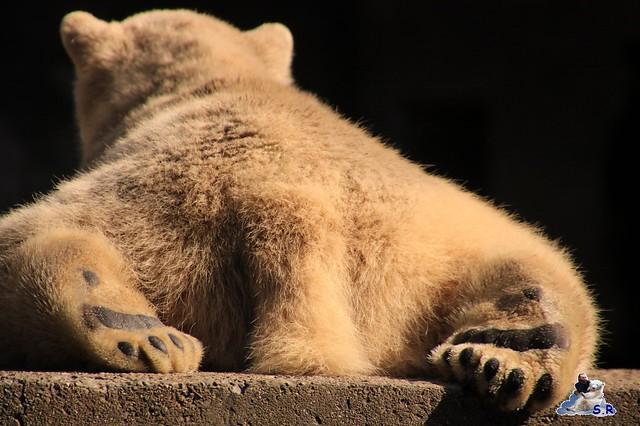 Eisbär Fiete im Zoo Rostock 26.09.2015   0207