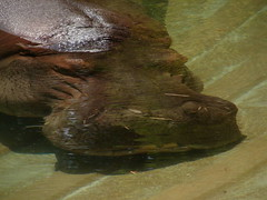 Hippopotamus amphibius DT [US Washington Zoo] (3)