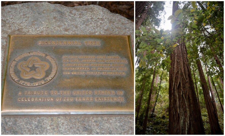 bicentennial tree