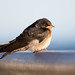 Baby Welcome Swallow
