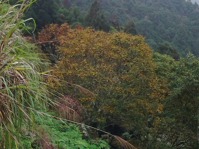 溪頭的楓葉64