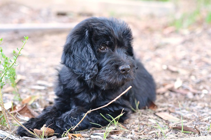 pepper the labradoodle