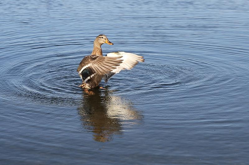 duckie wave