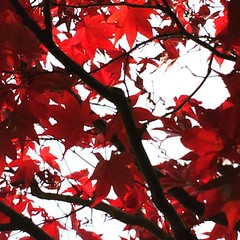 probably the reddest tree I saw this Autumn...near Sennyuji  #latergram #kyoto #japan #泉涌寺 #京都