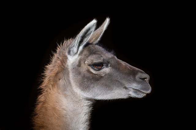 Guanako (Lama guanicoe) 1401