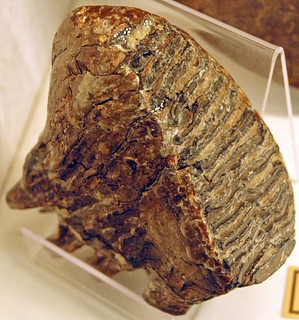 Mammuthus primigenius (woolly mammoth molar) (Pleistocene; Belgium) 1