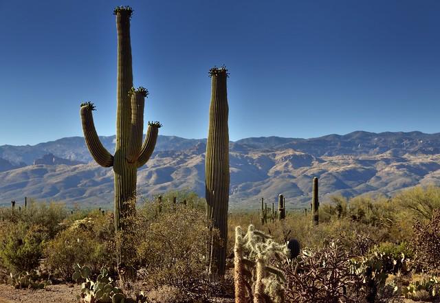 Cactus Arms and No Arms (Saguaro National Park)