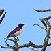 Small photo of Violet-backed Starling (Cinnyricinclus leucogaster) male