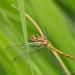 Dragonfly by sebastiaan.dewolf