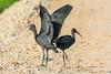 Íbis-preta, Glossy ibis (Plegadis falcinellus) by valadares.vasco