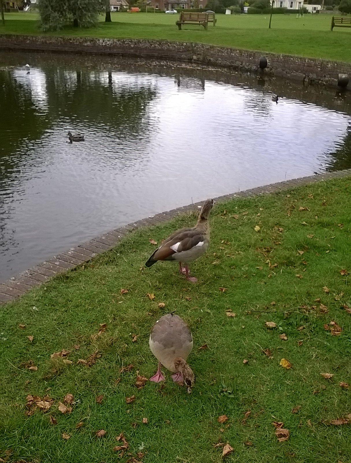 Hullo ducks! Godstone village pond inhabitants