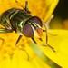 (Leaf Miner?) Fly by strictfunctor
