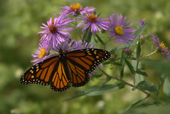 A Monarch 150925