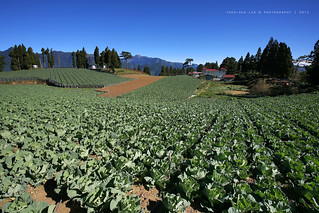 Field of Cabbage in Fushoushan Farm │ October 3, 2015