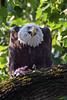 American Bald Eagle by Brian E Kushner