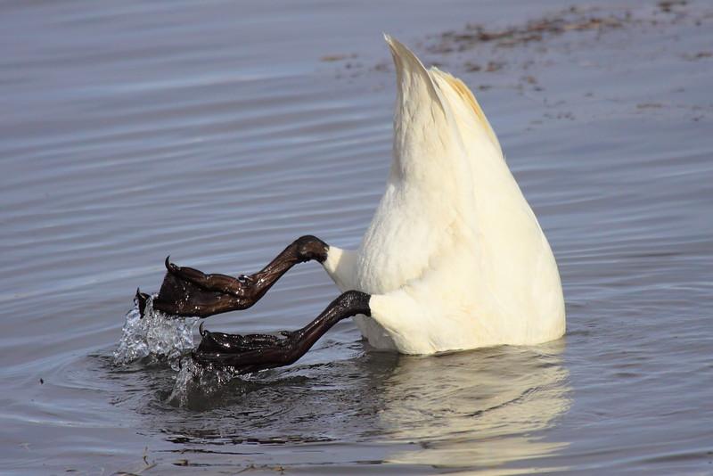 IMG_4830 Trumpeter Swan