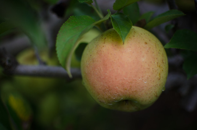 20151004-Apple-Orchard-1172