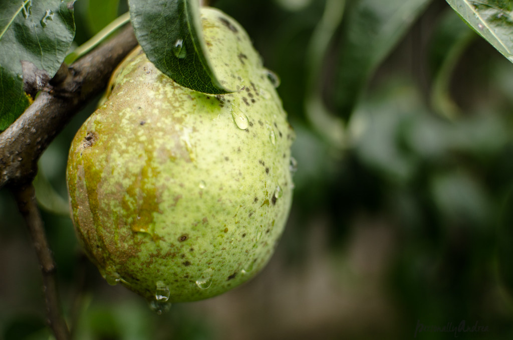 How to Photograph Fall |  Raindrops on Pear