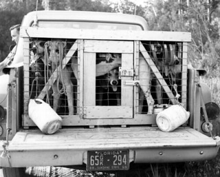 Hunting dogs on truck - Florida