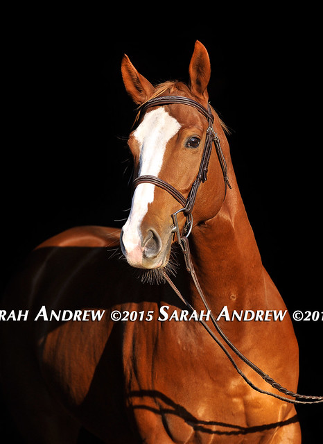 Colby- 6yo Thoroughbred available for adoption
