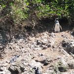 Mo, 02.11.15 - 12:30 - Pinguinera Islote de Piñihuil