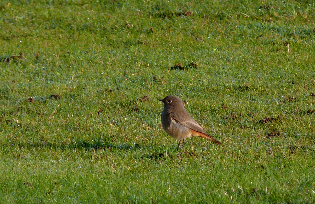 Black Redstart Flam 29Oct15 b
