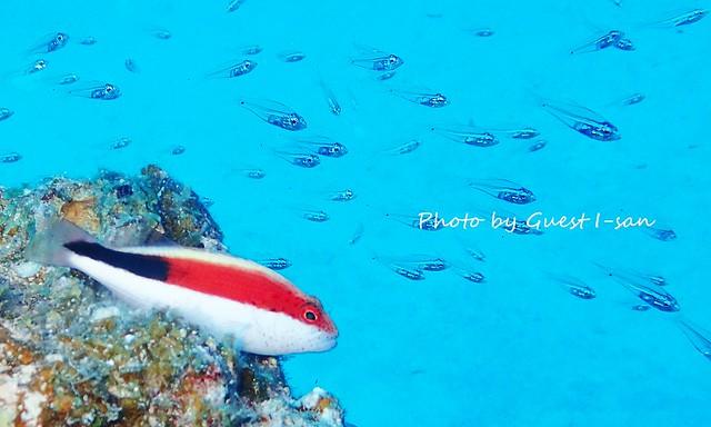 ホシゴンベ 幼魚