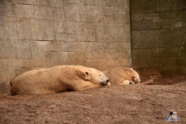 Eisbär Fiete im Zoo Rostock 13.12.2015  296
