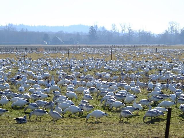 Fir Island Snow Geese
