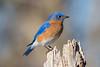 Eastern Bluebird 013017b copy