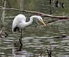 cfr-photos has added a photo to the pool:Great Egret at Essex Woods