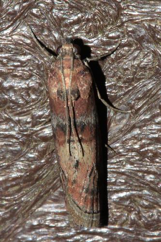 Phycita roborella 2084