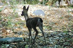 D70-0812-013 - Deer