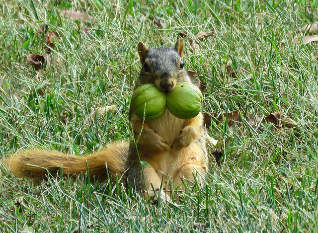 She Has A Load Of Walnuts!