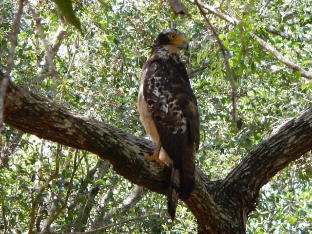 Resized_Crested eagle