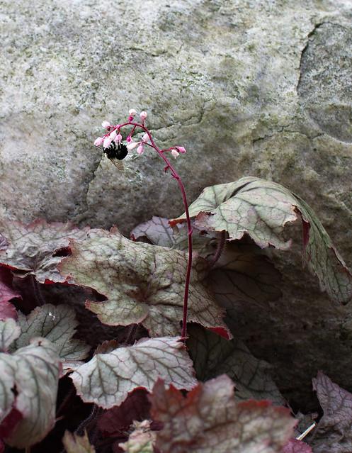 coral bells-bee