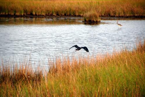 Outer Banks Birds