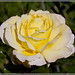 Yellow Rose by ajr1961
