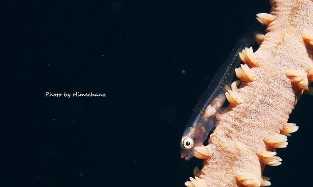 ガラスハゼ幼魚。スケルトン具合がハンパなかったです。