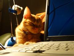 Berci a laptop mellett pihen