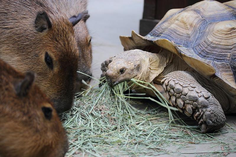 ケヅメリクガメとカピバラ / African spurred tortoise&Capybara
