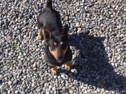 lostdogathloneroadwestmeath lost dog athlone road westmeath december 2016