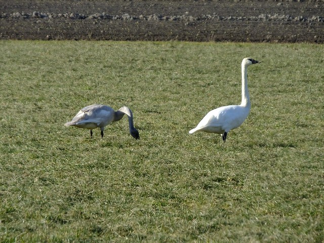 Fir Island Trumpeter Swans