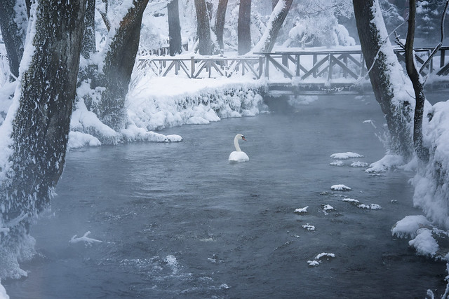 Tell me where the swans go in the winter?