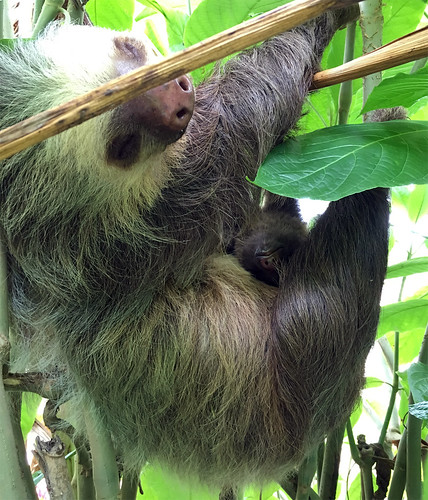 2-toed Sloth | by magnificentfrigatebird