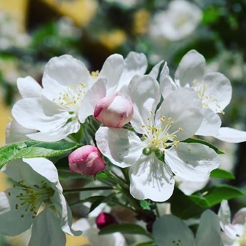 Explosión de Camelia. #primavera #spring #love #instagood #beautiful #nature #amazing #beauty #bestoftheday #photo #pretty #flowers #instalove #awesome #white #instago #spring #all_shots #flower #garden #igaddict #plants #floral #flowerstagram #whiteflowe