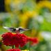 sunflower bokeh by Dunbar Gardens