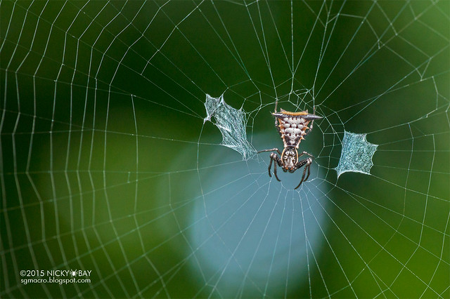 Thorn orb weaver (Micrathena gr. cornuta) - DSC_3490