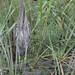 Len Medlock has added a photo to the pool:Yellow-crowned Night-Heron (imm.)Island Path, Hampton, NH
